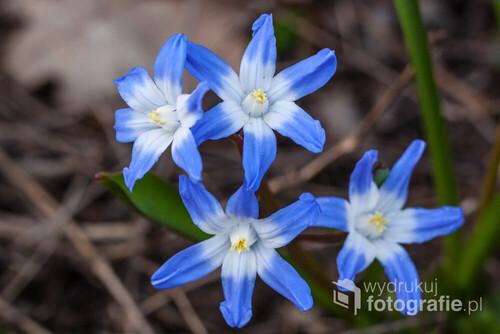 Cybulica Syberyjska (Scilla siberica) - jej piękne niebieskie kwiaty upiększają poszycie leśne wiosną. Zdjęcie zostało wykonane w Parku Krajobrazowym Doliny Bystrzycy.