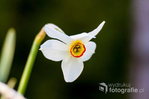Narcyz biały - nie ma chyba osoby która by nie znała obłędnego zapachu narcyza. W przydomowym ogrodzie też można znaleźć niesamowite obiekty, które mogą stać się świetnym tematem zdjęcia.