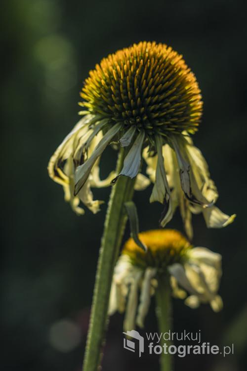 Zdjęcie przedstawia kwiaty ogrodowe (jeżówki) w pięknym wrześniowym świetle