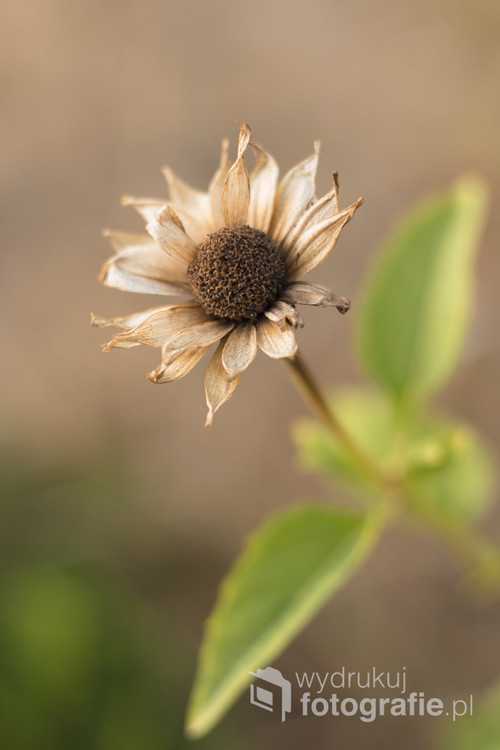 Zdjęcie przedstawia na wpół zwiędnięty kwiat. Nasuwa refleksję o przemijaniu