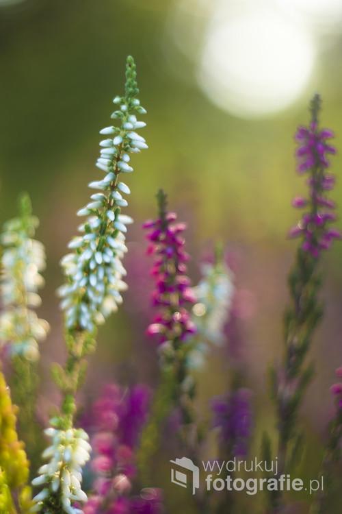 Przepiękne barwy wrzosu uchwycone we wrześniowy, jasny poranek
