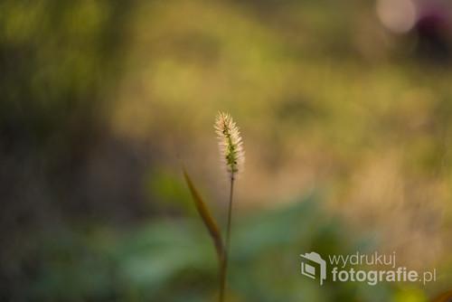 Nieoczywiste ujęcie kwitnącej trawy. Do tego zdjęcia użyłam starego manualnego obiektywu, ponieważ według mnie takie obiektywy najpiękniej