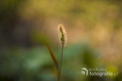 Nieoczywisty obraz kwitnącej, jesiennej trawy. Na zdjęciu chciałam pokazać wielobarwność pory roku i świetnie wkomponowaną w nią delikatną roślinę.