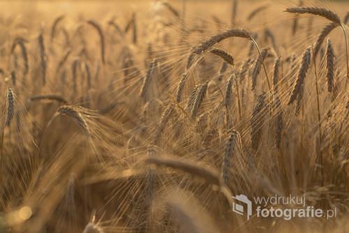 Uwielbiam ten czas, gdy zboże złoci się na polach.