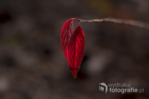 Czerwone, październikowe liście w ostatnich promieniach słońca.