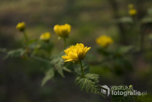 Złociste,wiosenne kwiaty