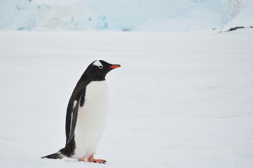 Mieszkaniec Antarktydy, pingwin z rodziny Gentoo, w języku polskim nazywany pingwinem białobrewym. Ten okaz spotkany w kolonii pingwinów nieopodal legendarnej, brytyjskiej stacji badawczej Port Lockroy na Antarktydzie.