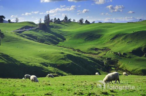 Klisza nowozelandzka. Zielone, łagodnie nachylone wzgórza, błękit nieba i owce. W Nowej Zelandii jest ich ponad 10 razy więcej niż ludzi!