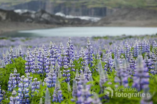 Wiosną na Islandii natura bardzo szybko budzi się do życia. Morza kwitnącego łubinu sąsiadują z lodowcami, polami lawowymi i jeziorami tworząc bajkowy i sielski krajobraz w tej arktycznej krainie.
