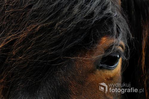 Islandzkie konie słyną ze swojego dzikiego piękna.