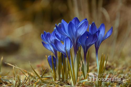 Fotografia przedstawia niebieskie krokusy. Zdjęcie zrobione w ogrodzie, tachnika Makro