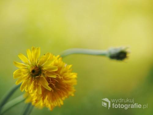 Kompozycja z kwiatów dzikiego mlecza, ujęta na szklanym tle. W mocnej żółtej tonacji. Kolekcja kwiaty pól i łąk.