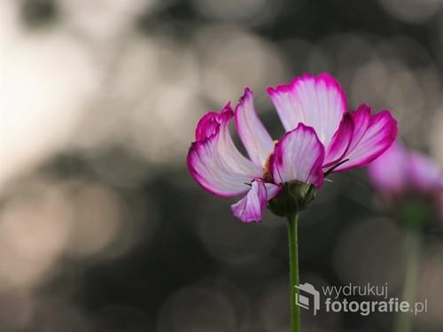 Pęd kosmosu o różowych brzegach, na tle szkła. Kolekcja kwiaty poskich pól i łąk.