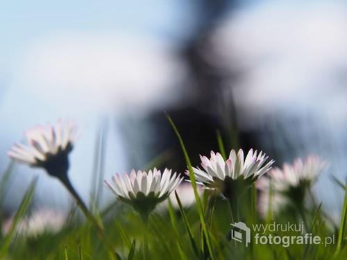 Zdjęcie wiosennych stokrotek wśród traw. Zdjęcie zrobione na łące w wiosenny poranek. Technika makro