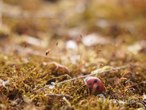 Zdjęcie biedronki na mchu, zrobione w ogrodzie.