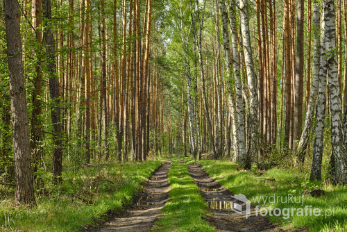 Droga leśna, w lasach powiatu trzebnickiego. Świeża zieleń to znak, że trwa maj. Maj 2020r.
