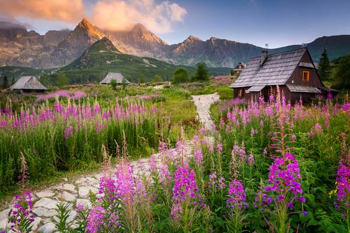 Hala Gąsienicowa w polskich Tatrach jest piękna o każdej porze roku ale kwitnąca późnym latem wierzbówka kiprzyca nadaje uroku temu miejscu. Fioletowe dywany kwiatów ścielą się wówczas przez kilka tygodni u podnóża gór.