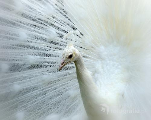 Zdjęcie przedstawia pawia albinosa. Zostało wykonane w oranżerii przy zamku Książ.