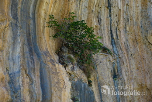 Figa uczepiona jednej z pionowych ścian w wąwozie Samaria, Kreta