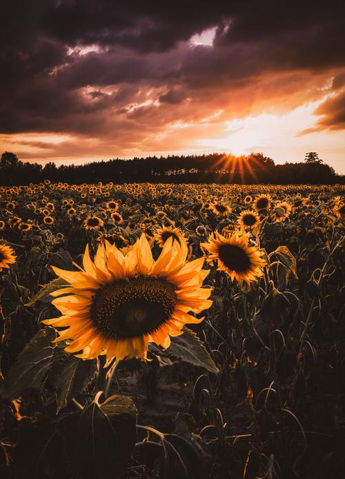 Letni krajobraz, piękne pole słoneczników i niesamowity spektakl na niebie! Tak ja widzę to zdjęcie:)