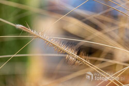 Źdźbło trawy rozplenicy