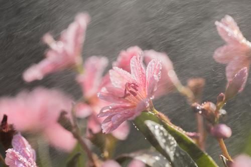 Zdjęcie makro, kwiaty małego skalniaka lewizji