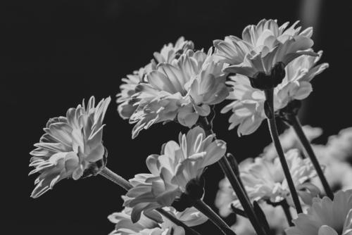 Kwiaty złocienia w rozkwicie.