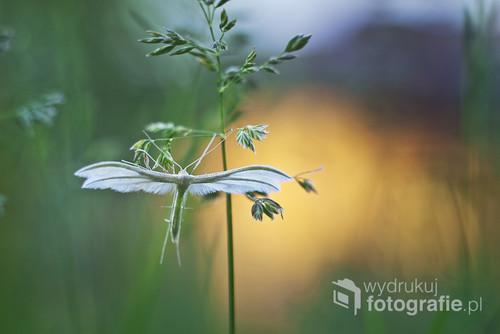 Duszek (Piórolotek śnieżynka) czasem odwiedzający mój ogród, przypomina mi zawsze aniołka :)