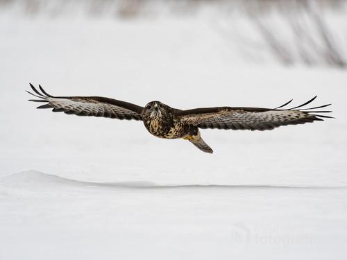 Fotografowanie ptaków zimą ma tę zaletę, że śnieg pięknie podświetla ptaki od dołu.