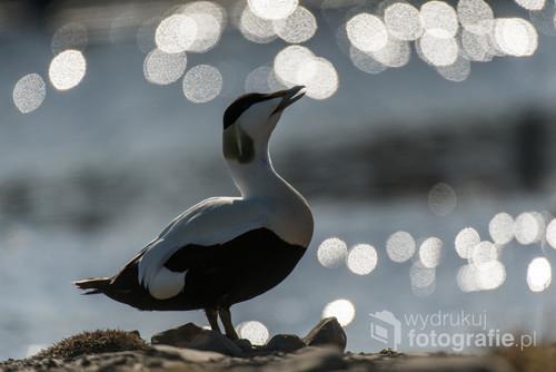 Samiec edredona, sfotografowany w słoneczny dzień na Spitsbergenie. Edredony to duże kaczki przystosowane do życia w Arktyce: mają puch o najwyższej wartości izolacyjnej wśród wszystkich ptaków.