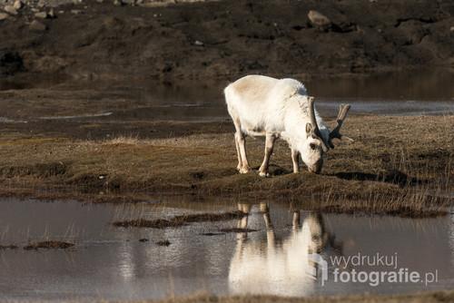 Spitsbergeńskie renifery różnią się od ich krewnych zamieszkujących Skandynawię. Sąbardziej krępe, mają krótsze nogi i przede wszystkim grubszą, białą sierść.