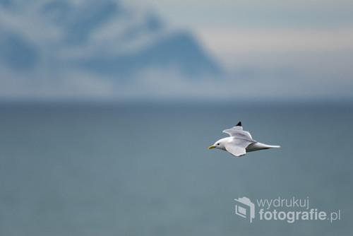 Spitsbergen, mewa trójpalczasta na tle północnych wybrzeży Isfjorden.