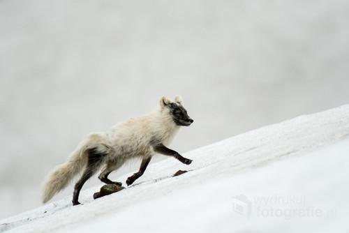 Arktyczną wiosną lisy polarne gubią grubą, białą sierść i przyjmują ciemniejsze, szarawe barwy. Ten lisek wspina się po polu lodowym w kierunku kolonii alczyków, gdzie z pewnością liczy na obfity posiłek wśród wysiadujących jaja ptaków.