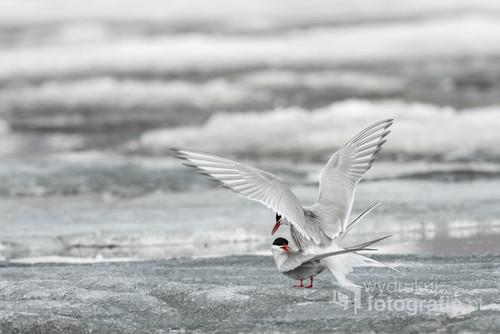 Początek czerwca na Spitsbergenie to okres intensywnej działalności ptaków. Podczas krótkiego okresu letniego muszą zdążyć wychować potomstwo. Rybitwy popielate już kilka dni po przylocie są połączone w pary i mają założone gniazda.