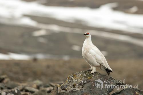 Pardwa górska, odmiana spitsbergeńska, to jeden z niewielu ptaków zimujący w Arktyce.Przez krótki okres letni przybywa na wadze ok. 50%, by potem przez długą arktyczną zimę wrócić do wagi wyjściowej.