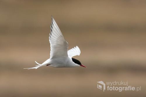 Rybitwa popielata - najwytrwalszy podróżnik świata zwierzęcego: co roku przemierza dystans ok. 30.000 km podążając za dniem polarnym. Zdjęcie zrobione na Spitsbergenie nad małą laguną, wokół której licznie ptaki te gniazdują.