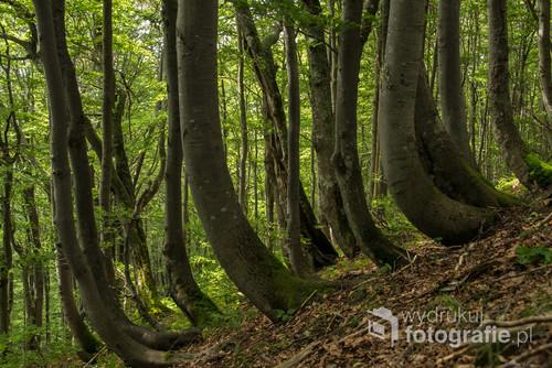 Smagany wiatrem las bukowy na stokach Połoniny Caryńskiej w Bieszczadach.