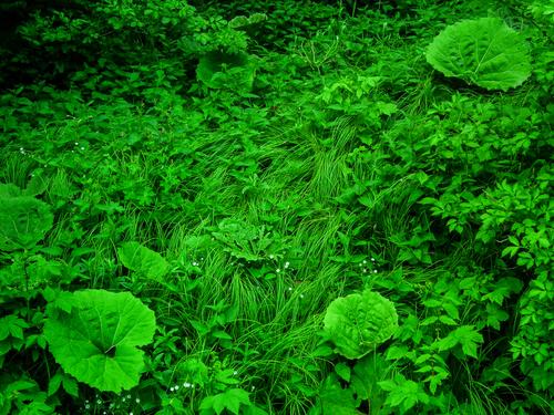 Łopiany przy drodze, podczas spaceru w Bieszczadach. Żywa zieleń. Spokojny dzień, kilka godzin przed majową burzą.
