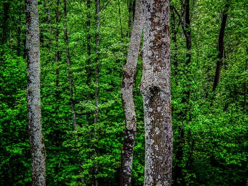 Bieszczady. Pnie starych drzew na tle żywej zieleni młodszego lasu. Cisza zamknięta w kadrze. Siła życia w historycznym tle, wymarłych wsi, gdzie na pozór nic się nie zmienia.
