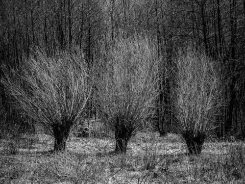 Trzy wierzby na skraju lasu. Pozostałości dawnych wsi bieszczadzkich. Bardzo wczesna wiosna.