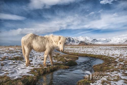 Na Islandii co kilkanaście kilometrów można napotkać hodowle koni. Konie pełnią nadal ważną rolę w życiu Islandczyków i są bardzo łagodne:)