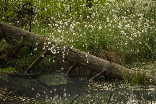 Zdjęcie wykonałem majowym, późnym popołudniem na Długim Bagnie, na terenie Kampinoskiego Parku Narodowego.