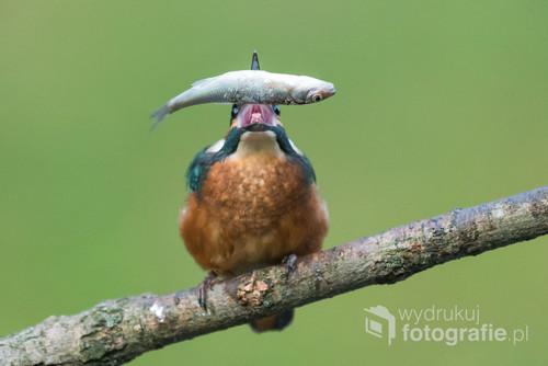 Zimorodek upolował rybkę i podrzuca ją aby ustawić ją do połknięcia