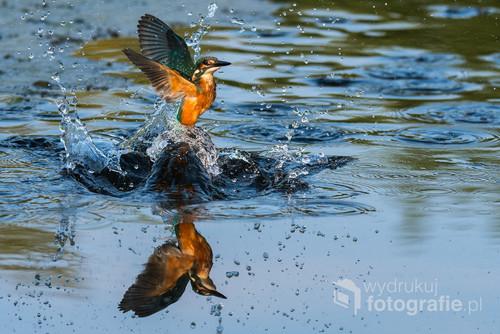 Zimorodek wynurza się zwody po nieudanym połowie rybki, nie każdy atak przynosi pozytywny skutek, zimorodek musi się trochę natrudzić aby upolować rybkę