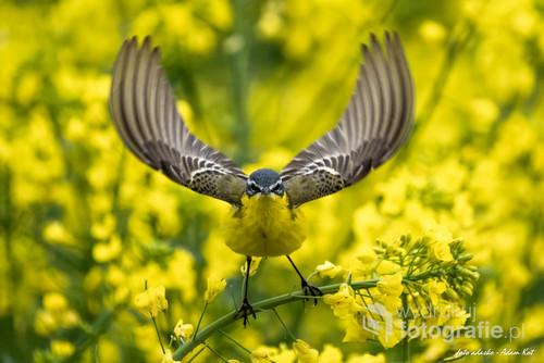 Pliszka żółta staruje z łodygi rzepaku i w pierwszej fazie uniosła skrzydła jak kielich
