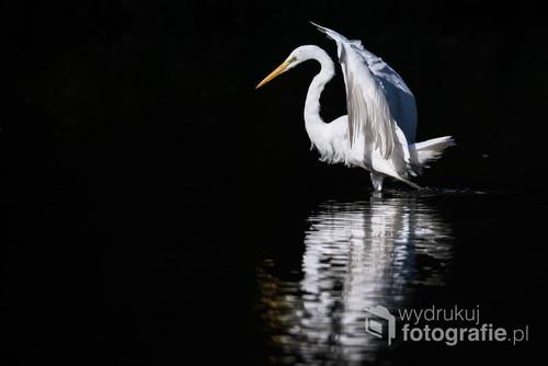 Czapla biała polowała na rzece, w pewnym momencie,  weszła w głęboki cień, co dało mi możliwość zrobienia tego zdjęcia