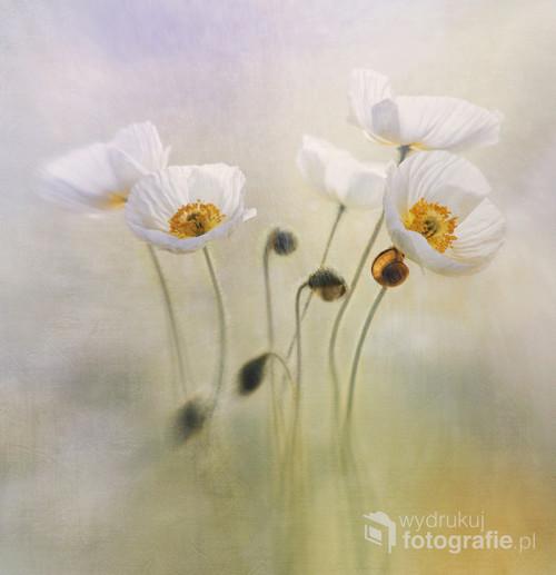 Ekspresyjne zdjęcie wyjątkowo urodziwych miniaturowych białych maków