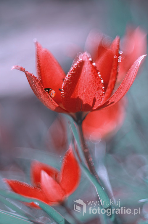 Artystyczne zdjęcie wyjątkowej urody tulipana botanicznego