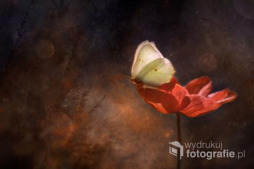 Bajkowe zdjęcie motyla na kwiecie anemona