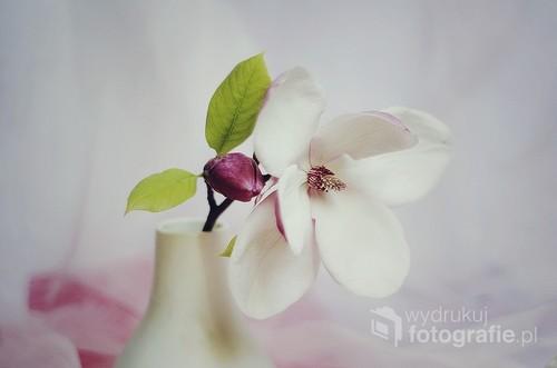kwiat magnoli